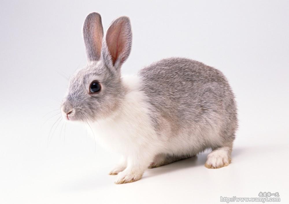 壁纸 动物 兔子 1000_709